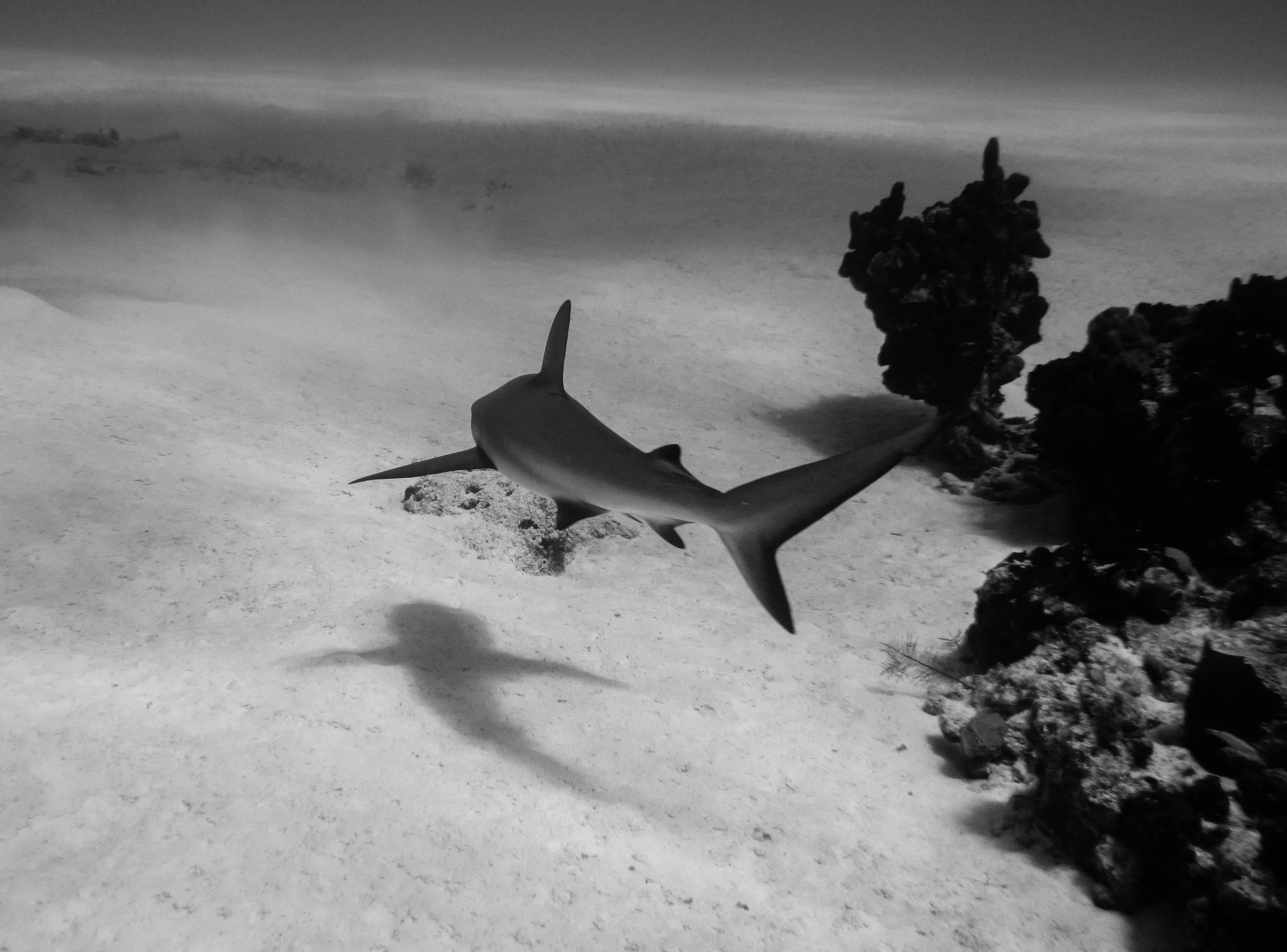 Shark13bw